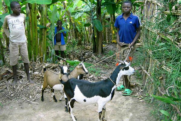Eine Ziege für jede Familie, in der Kinder ohne ihre Eltern aufwachsen, hilft ihnen bei der Sicherung ihres Lebensunterhalts in Ruanda.