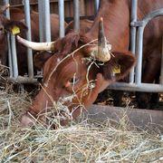 """Seinen Stier """"Manfred"""" füttert Peter Schmidt im Stall. Auf der Weide ist sowieso kein Gras zu finden."""