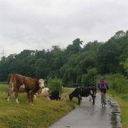 Kühe umfahren, auch das war unterwegs gefragt
