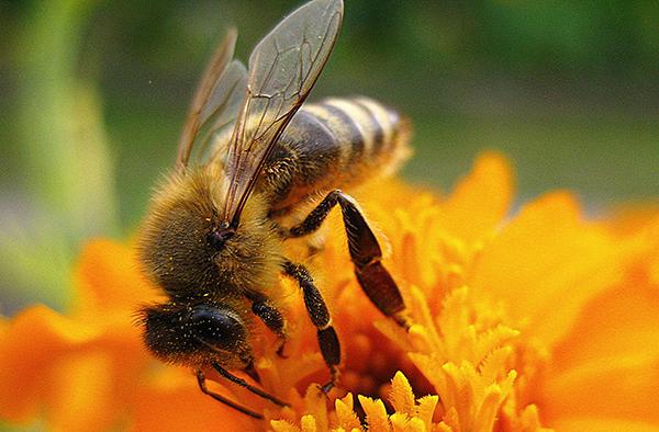 Imkerei liegt in Großstädten im Trend, sorgt dafür, dass sich Bienen wieder besser verbreiten.