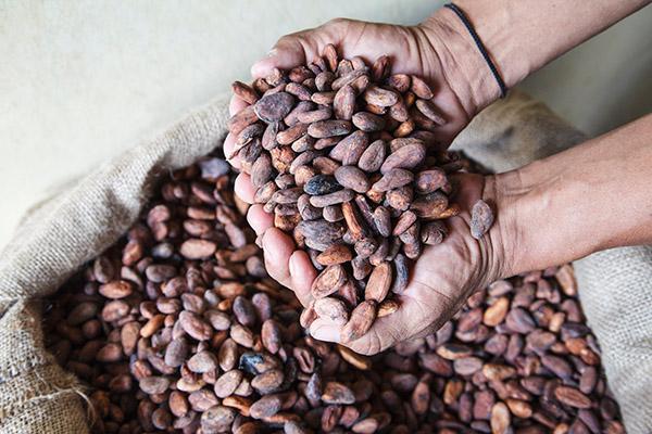 Exportfertige Kakaobohnen aus Ecuador.