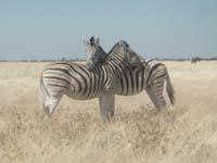 Zebras im Etosha Nationalpark im Norden Namibias